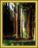 Redwood Forest Print - SIGNED by Loyal H. Chapman